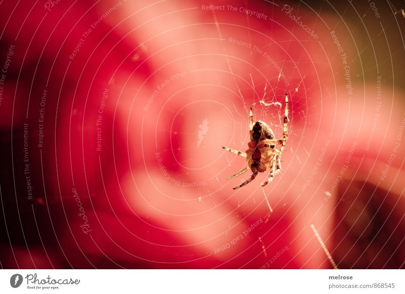 I see red! Summer Beautiful weather Garden Animal Spider Spider's web nut Spin Spider legs Observe Movement Discover Hang Crawl Near Brown Gold Red Black Serene