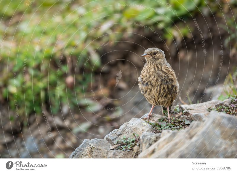 Aplenine Accentor Nature Plant Animal Summer Alps Mountain Allgäu Peak Bird Alpine Accentor 1 Observe Sit Wait Small Wild Brown Green Serene Patient Calm