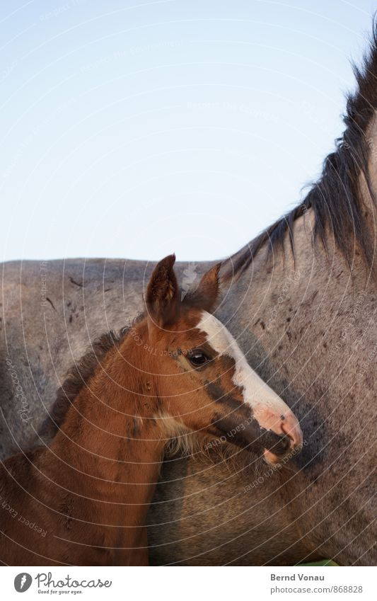 protégé Nature Sky Cloudless sky Horse 2 Animal Protection Safety (feeling of) Brown Baby animal Foal Eyes Coat color Gray Mane Lean Side by side Growth