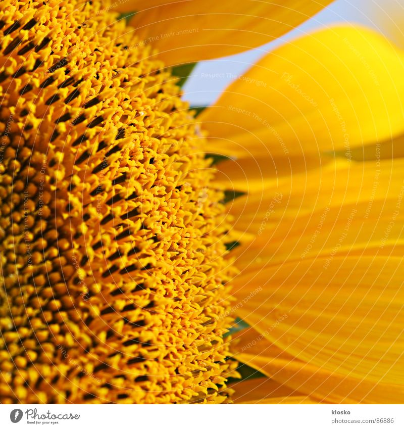 sunflower Sunflower oil Yellow Summer Round Macro (Extreme close-up) Blossom Success Inner strength Blossoming Passion Summer vacation time Circle Oil