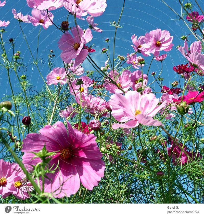 Sky Flower Green Blossom Movement Spring Pink Wind Fresh Multiple Many Bud Muddled Flashy Sky blue