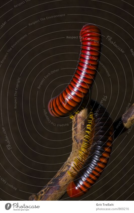 millipedes Animal Pet Wood Discover Athletic Elegant Exotic Target Colour photo Interior shot Studio shot Close-up Neutral Background Artificial light