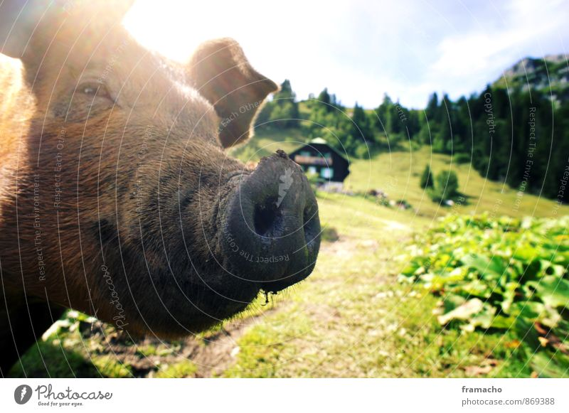 country pig Joy Tourism Mountain Hiking Nature Landscape Plant Animal Summer Foliage plant Meadow Field Farm animal Swine 1 Authentic Exceptional Dirty Brown