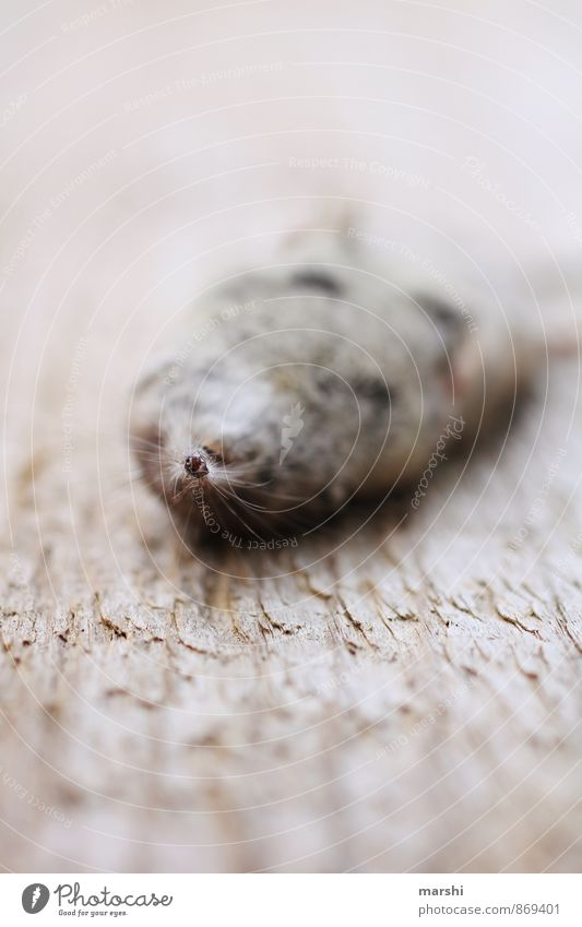 From the mouse Nature Animal 1 Emotions shrew Mouse Death Lie Wooden board Snout Colour photo Exterior shot Close-up Detail Macro (Extreme close-up) Day