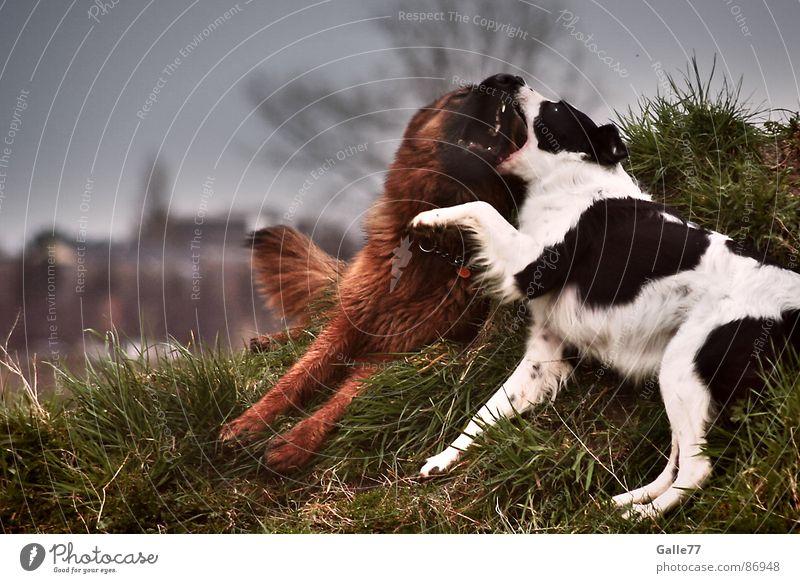 Big friends Dog Playing Life Like Love affair Romp Light heartedness Mammal Bite Lie Joy vital touching Set of teeth