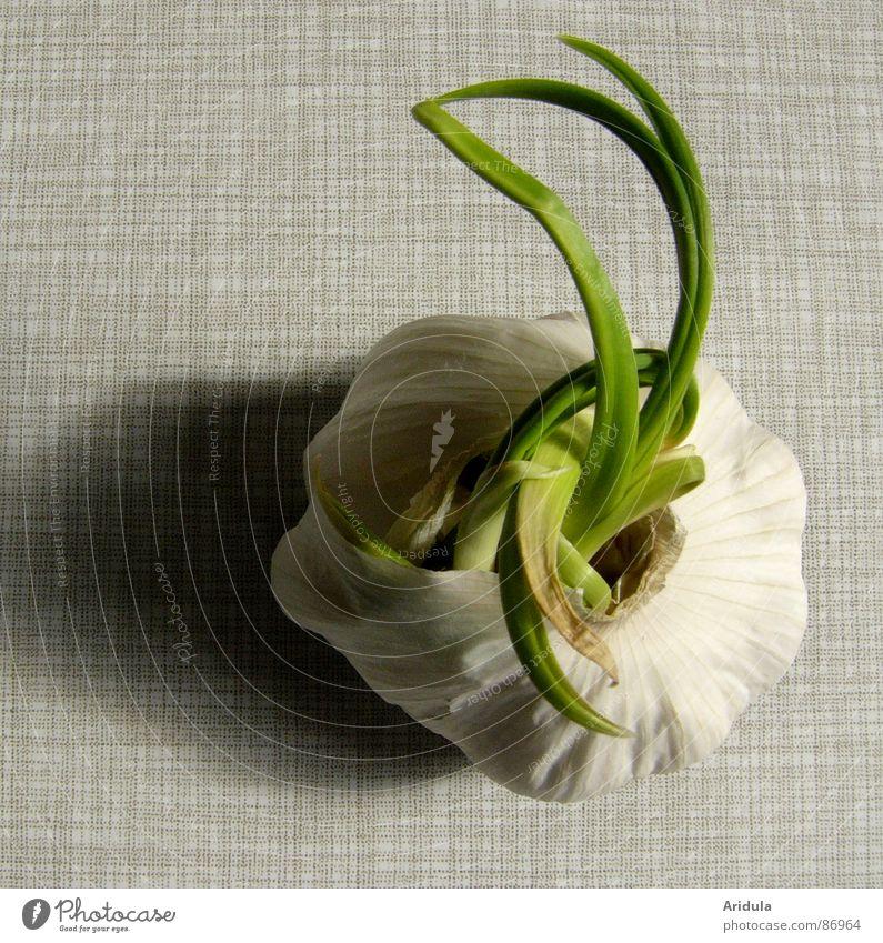 garlic no.3 Sense of taste Table Kitchen Green Monster Eerie Gray Light Growth Disperse Healthy Life Darken Nutrition Vegetarian diet sprout proliferate Garlic
