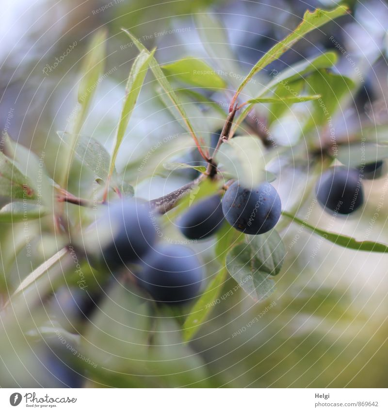 blackthorn berries... Environment Nature Plant Summer Bushes Leaf Wild plant Sloe Blackthorn Berries Berry bushes Seed head Twig Hang Growth Esthetic Small