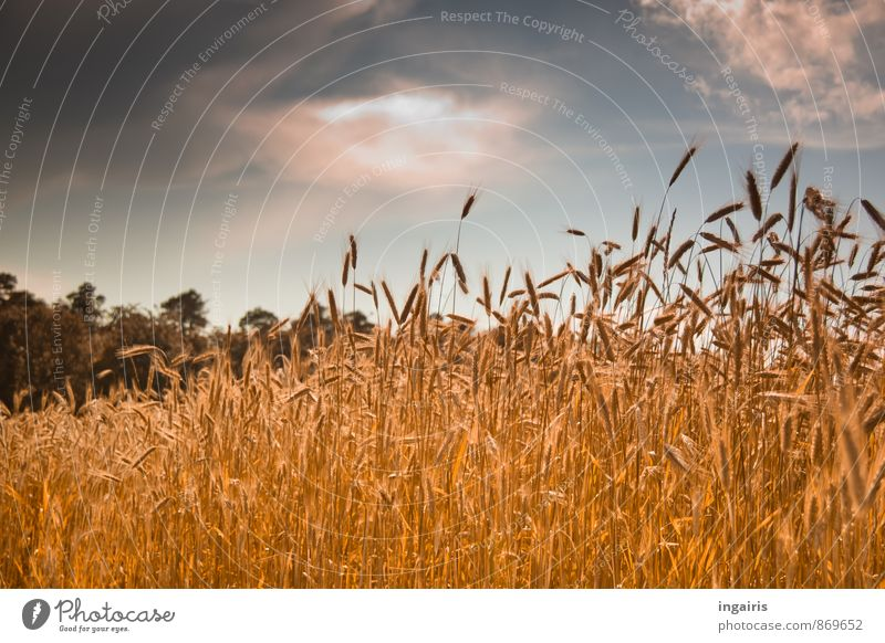 grain maturity Environment Landscape Animal Sky Clouds Storm clouds Sunlight Summer Plant Tree Grain Grain field Ear of corn Cornfield Rye Field