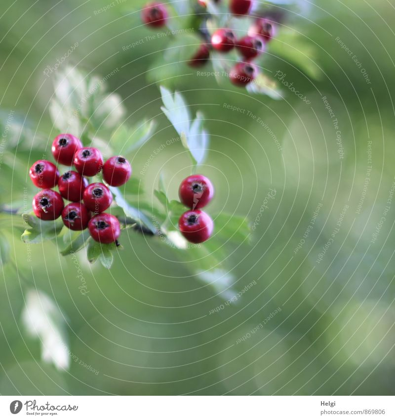 fruity Environment Nature Plant Summer Autumn Bushes Leaf Wild plant Hawthorn Berries Berry seed head Twig Park Hang Growth Esthetic Fresh Beautiful Small