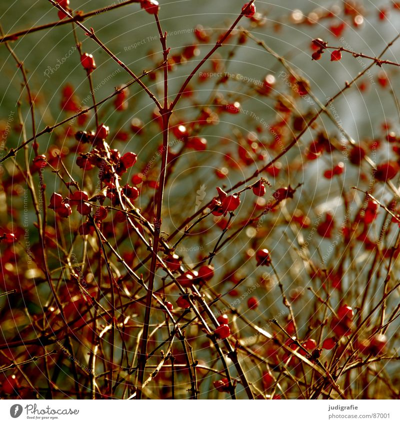 red and round Multiple Plant Bushes Red Round Growth Environment Autumn Wild plant Part of the plant Botany Many Berries Fruit Sphere Twig Nature