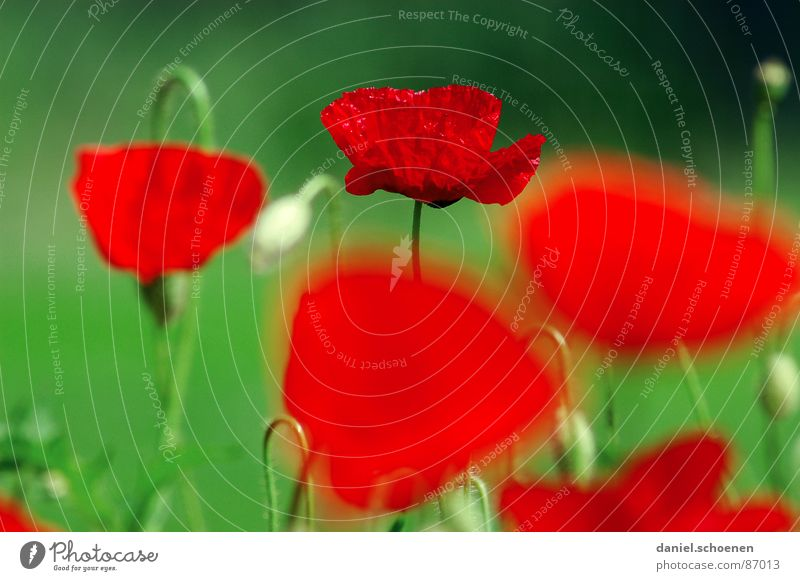 summery red-green contrast Red Green Spring Summer Flower Blossom Background picture Grass green Depth of field Meadow Corn poppy Environment fiery red Nature