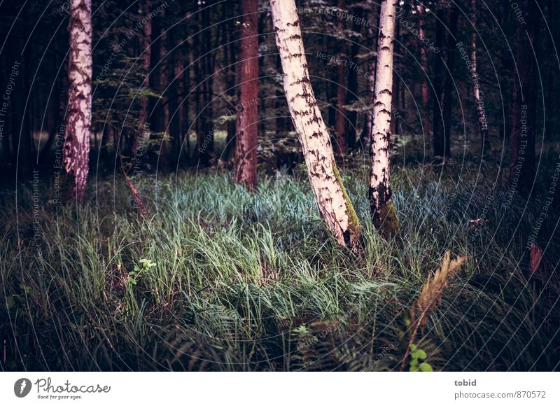 clearing in the forest Nature Landscape Plant Tree Grass Bushes Moss Birch tree Forest Dark Cold Loneliness Clearing Colour photo Subdued colour Deserted