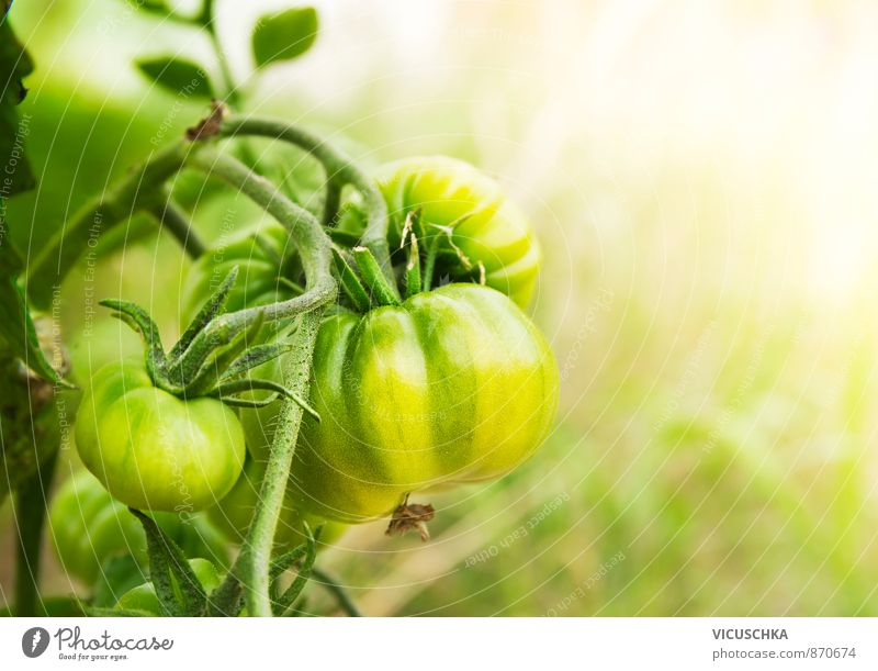 green tomatoes in sunny garden Leisure and hobbies Summer Nature Yellow vine Planning growing food healthy fruit ripe natural fresh group close field outside