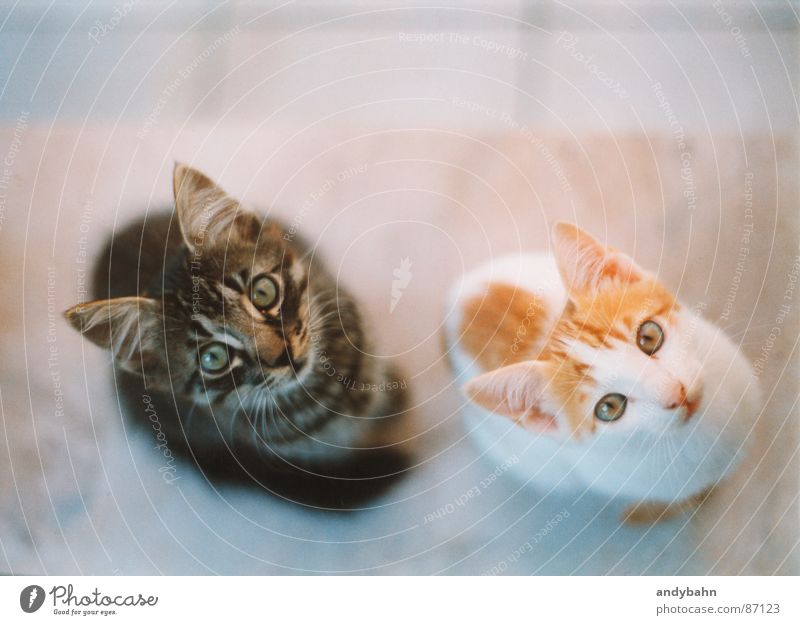 hypnosis Animal Pet Cat Animal face 2 Pair of animals Appetite Curiosity Beg Meow Synchronous Fix Mammal scrounge be hungry Snapshot Tiger cats Domestic cat