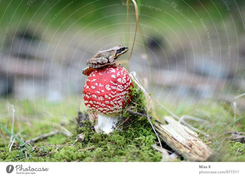 Animal Forest Autumn Small Moss Mushroom Frog Woodground Tree frog Amanita mushroom