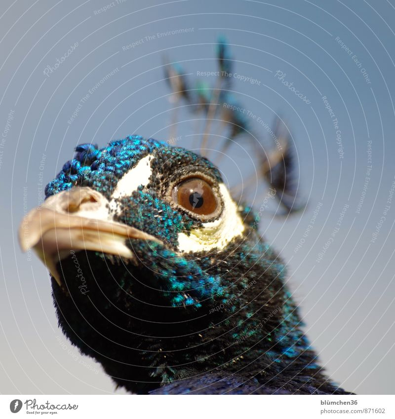 eye contact Animal Wild animal Bird Animal face Peacock Gamefowl Poultry Eyes Beak Head Peacock feather Observe Looking Esthetic Threat Beautiful Blue Turquoise