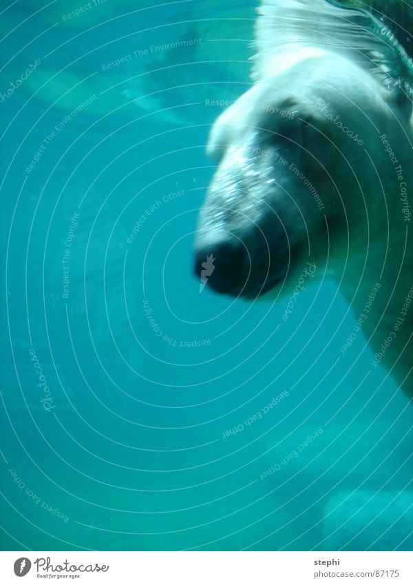 eyes to and through Polar Bear Dive Zoo Closed eyes Air Water Berlin zoo Swimming pool Gush of water Mammal dip fight through aqueous