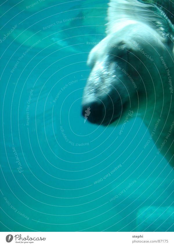 Water Air Swimming pool Dive Zoo Mammal Bear Animal Polar Bear Berlin zoo Gush of water