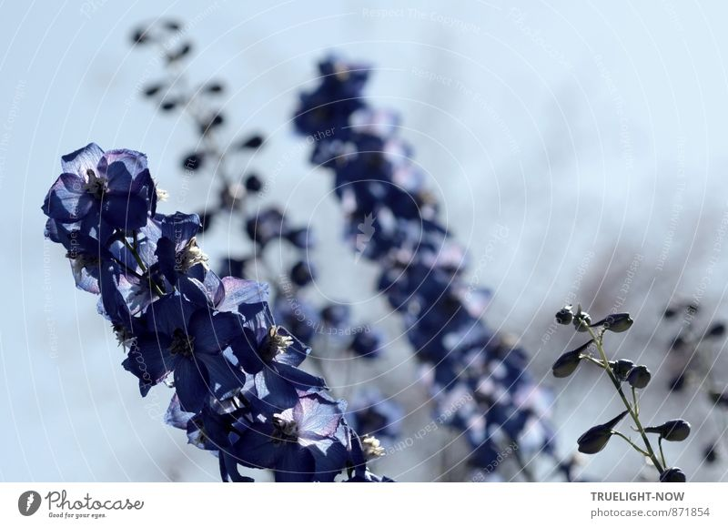 Knight Spur Nature Plant Sky Beautiful weather Flower Blossom Delphinium Garden Elegant Fresh Strong Blue Gray Violet Happiness Joie de vivre (Vitality)