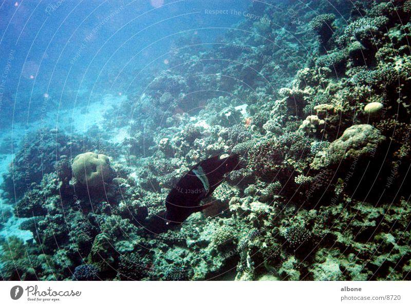 black perch Coral Black Fish Water