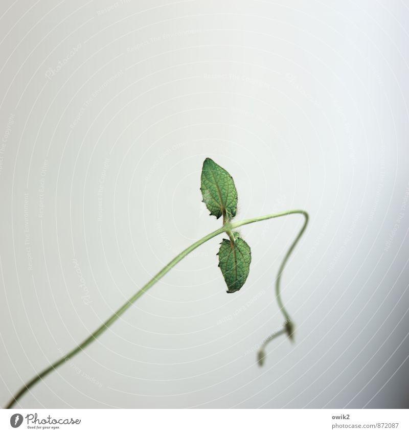 sag Plant Leaf Foliage plant Pot plant Tendril Black-eyed susan Creeper Movement Thin Small Green Joie de vivre (Vitality) Spring fever Willpower Brave Flexible