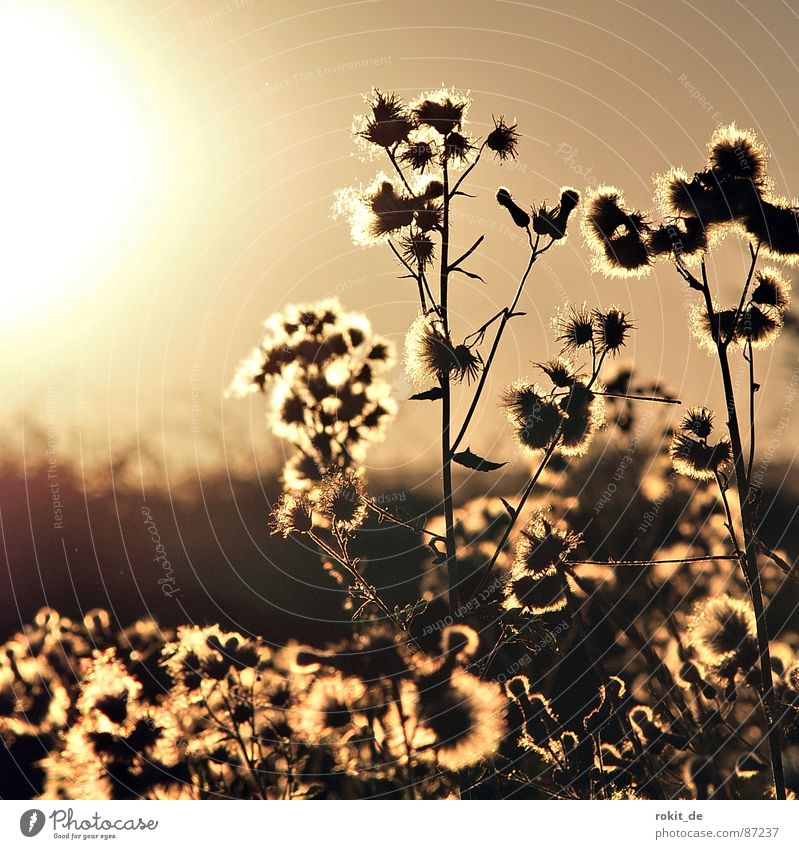 Sun Plant Far-off places Blossom Brown Bushes Stalk Botany Dusk Hedge Beige Dazzle Pollen Late Gardening Sepia