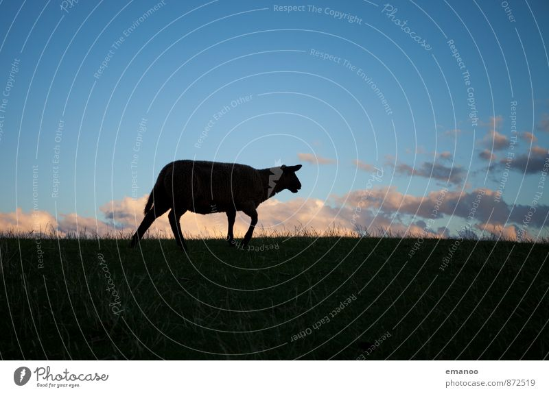 Sky Nature Blue Loneliness Landscape Clouds Animal Black Meadow Grass Horizon Fear Field Walking North Sea Sheep