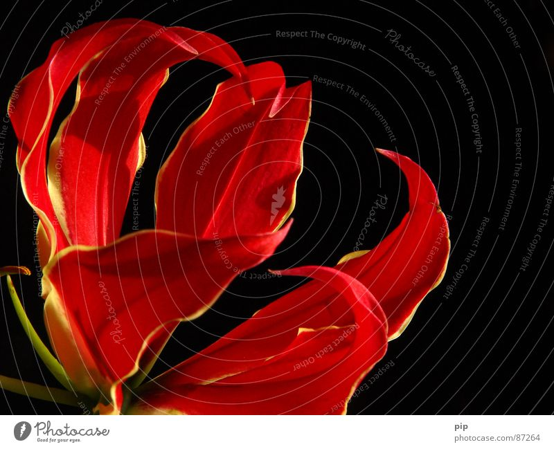 Plant Red Black Blossom Elegant Esthetic Multiple Delicate Herbs and spices Blossoming Fragrance Bouquet Graceful Pistil Claw Faded