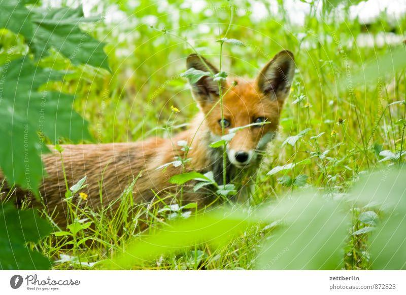 New Fox Land-based carnivore Pelt Fur coat Fur hat Fur jacket Fur-bearing animal Direct Animal Wild animal Red fox Rabies