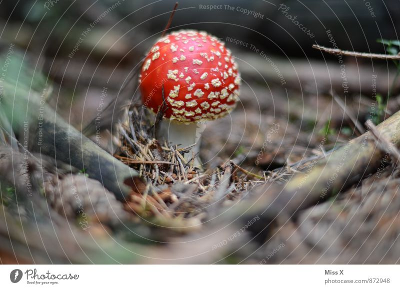 fly agaric Environment Nature Plant Earth Autumn Moss Forest Growth Dangerous Poison Amanita mushroom Mushroom Mushroom cap Fir needle Woodground Branch Sprout