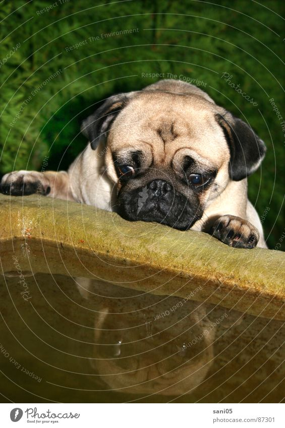 Animal Dog Well Curiosity Wrinkles Interest Mirror image Horror Frightening Source Scare Fountain Pug