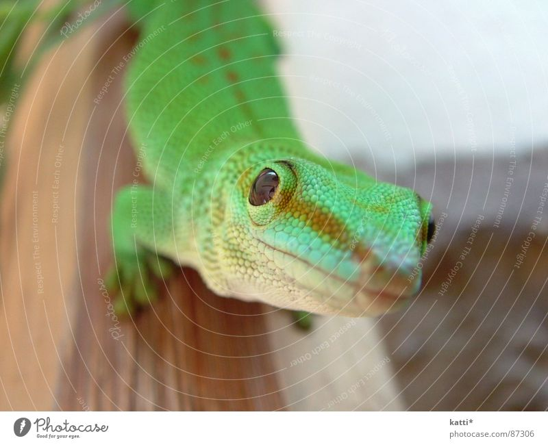 Beautiful Green Joy Esthetic Africa Observe Symmetry Reptiles Saurians Fascinating Tasty Interesting Animal Terrarium Gecko Trenchant