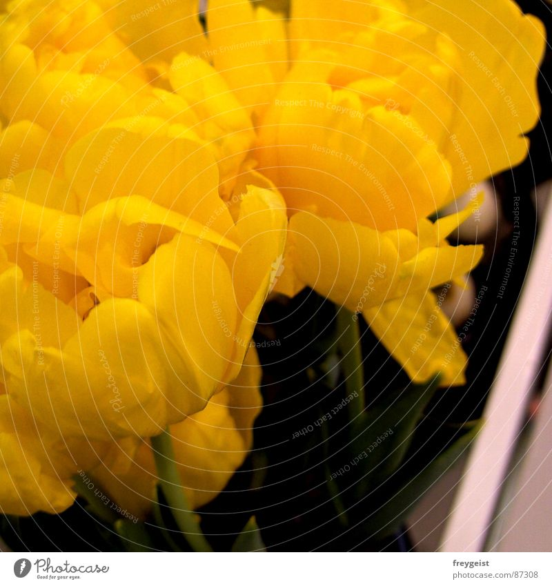 Flower Green Yellow Jump Blossom Spring Blossoming Square Seasons Tulip Flowerpot Spring flower Window box Bulb flowers