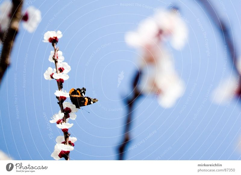Spring fever II Apricot Apricot tree Flower Blossom Butterfly Seasons Beautiful Harmonious Holiday season Attractive Heavenly Ease Branch Happy
