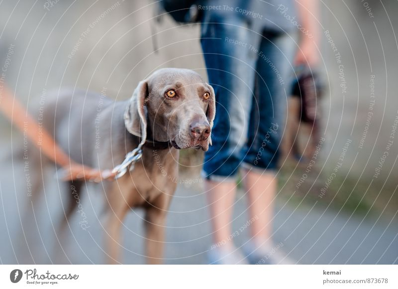 Dog Human being Beautiful Calm Animal Legs Leisure and hobbies Stand Wait Trip Pelt Watchfulness Animal face Pet Dog lead Weimaraner