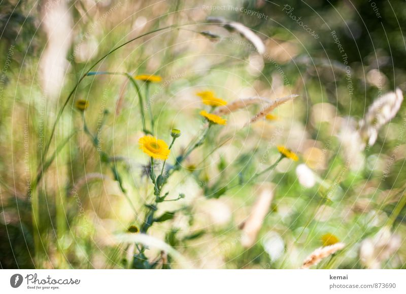 Wild and beautiful Environment Nature Plant Sunlight Summer Beautiful weather Warmth Flower Grass Blossom Wild plant Meadow Blossoming Growth Fragrance