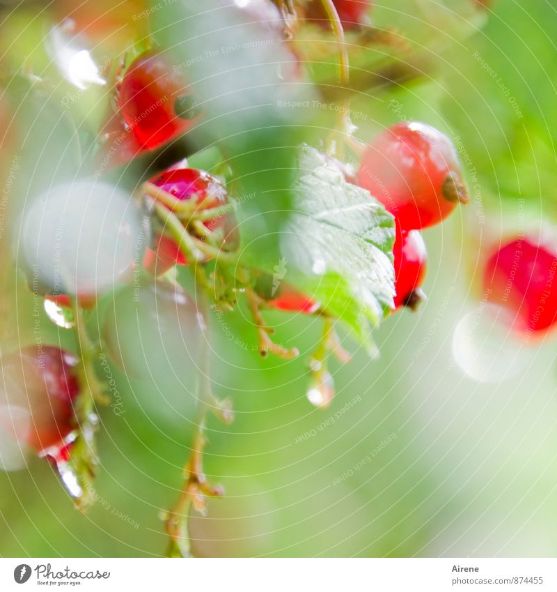 Nature Plant Green Colour Summer Red Leaf Natural Healthy Garden Bright Glittering Fruit Bushes Fresh Drops of water