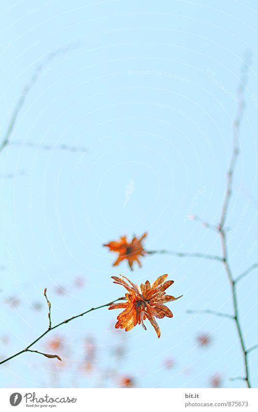 Sky Nature Plant Blue Leaf Autumn Garden Park Contentment Decoration Joie de vivre (Vitality) Transience Star (Symbol) Change Well-being Harmonious