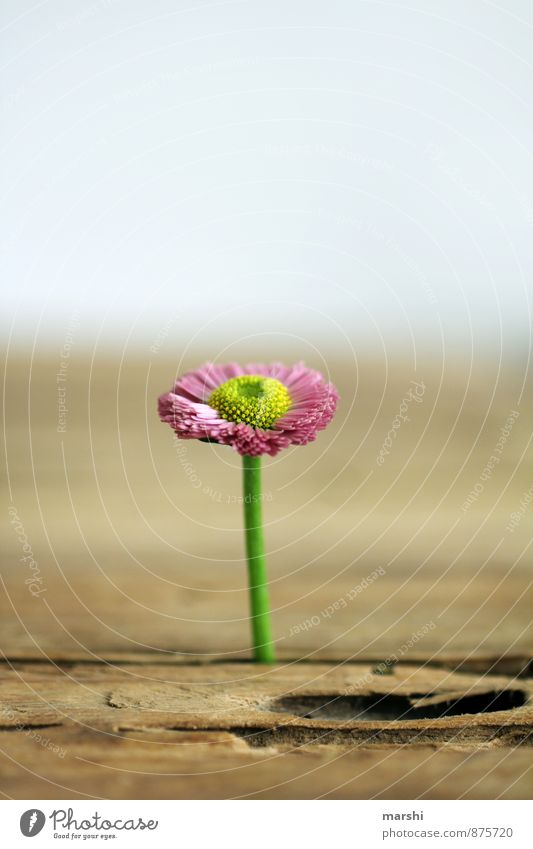lone fighters Nature Plant Flower Garden Emotions Moody Daisy Individual Wooden table Growth Blossoming Pink Beautiful Shallow depth of field Colour photo