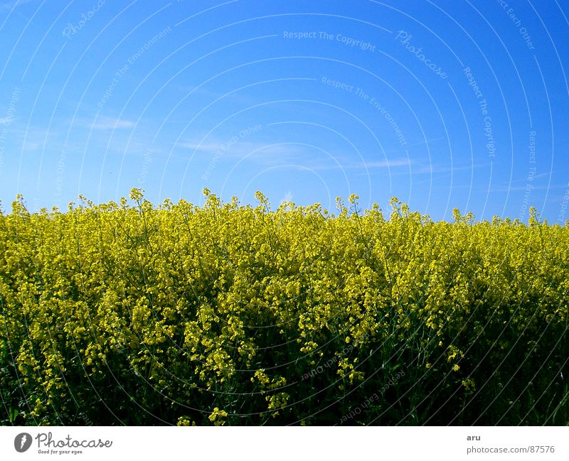 Nature Sky Flower Summer Yellow Meadow Field Canola Canola field