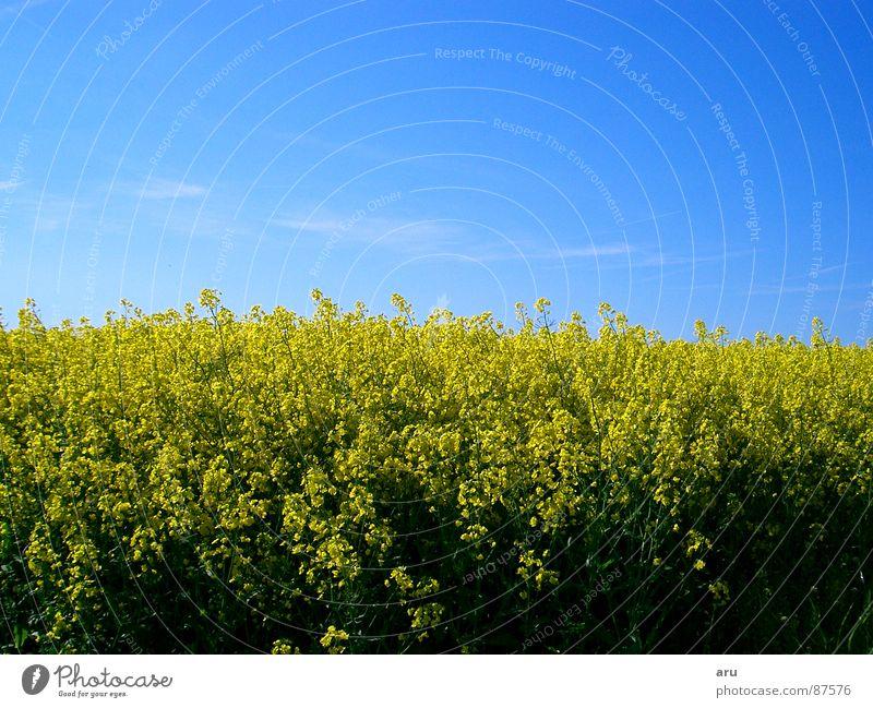 Nature Sky Flower Summer Yellow Meadow Field Canola Canola field