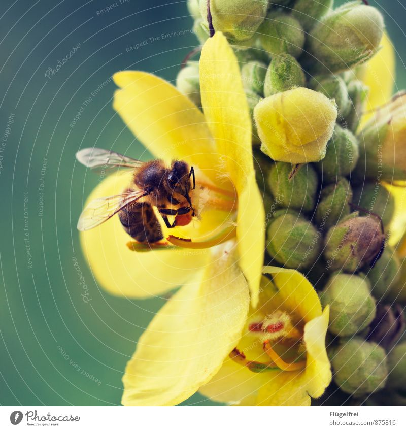 busy bee Bee 1 Animal Flying Collection Honey Farm animal Bud Summer Wing Nectar Diligent Pollen Nature Garden Drinking Colour photo Exterior shot Close-up