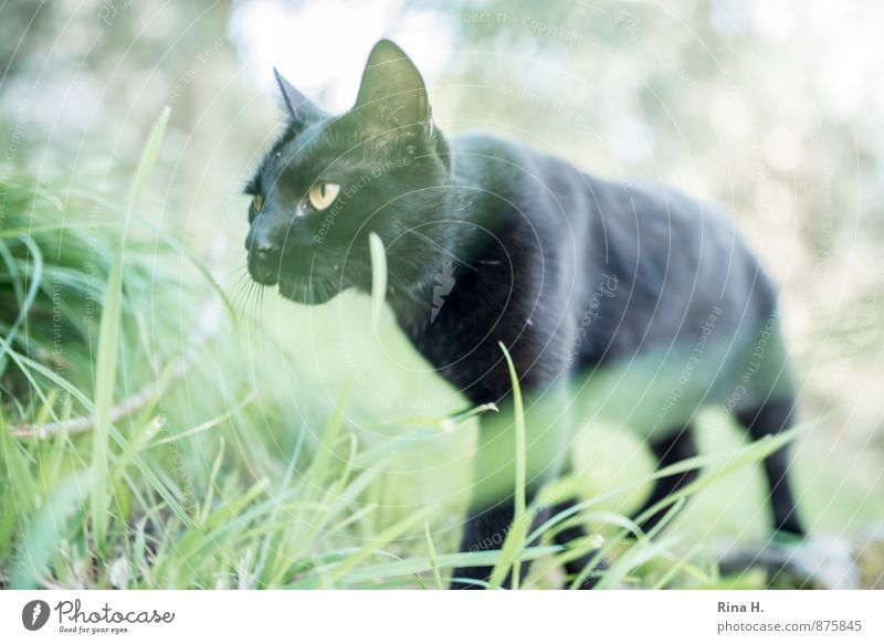 black panther Nature Grass Meadow Cat 1 Animal Going Black Lateral fold lizards Colour photo Exterior shot Deserted Shallow depth of field Worm's-eye view