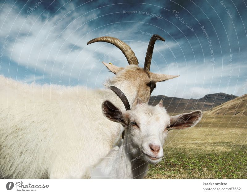 with nuts Alp Flix Goats Animal Meadow Protect Protection Guard Switzerland Together Connectedness Goatskin Narrow Kid (Goat) Grass Alpine pasture Familiar