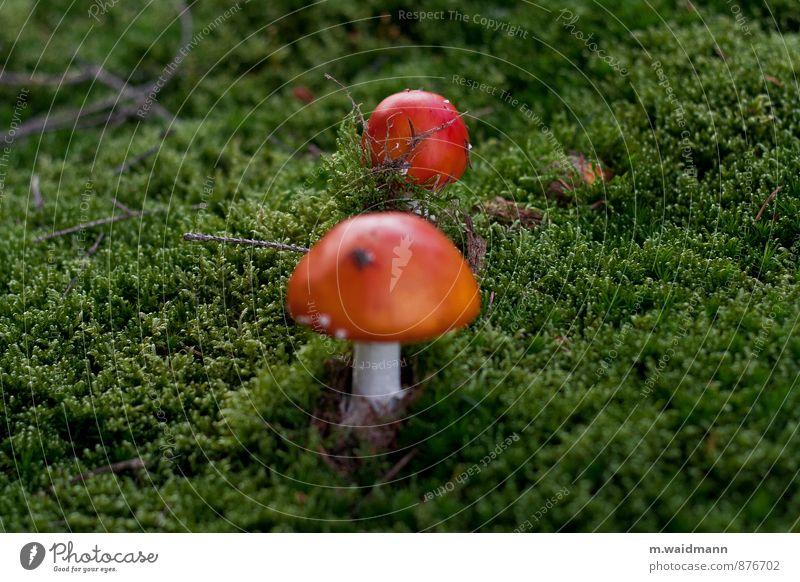 Nature Plant Green White Red Forest Moss Mushroom Wild plant Mushroom cap Amanita mushroom