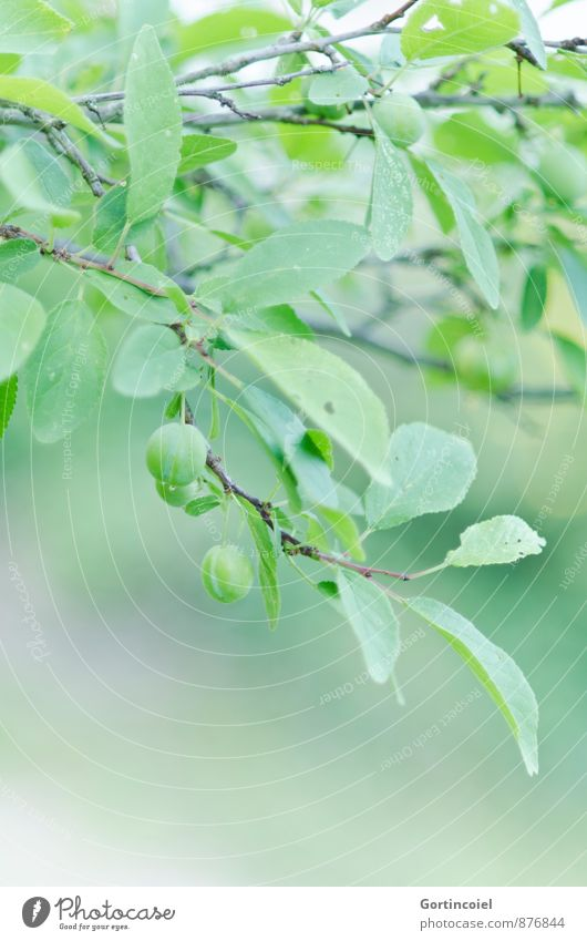 unripe Nature Summer Tree Leaf Agricultural crop Green Immature Plum Plum tree Fruit trees Colour photo Subdued colour Exterior shot Copy Space bottom