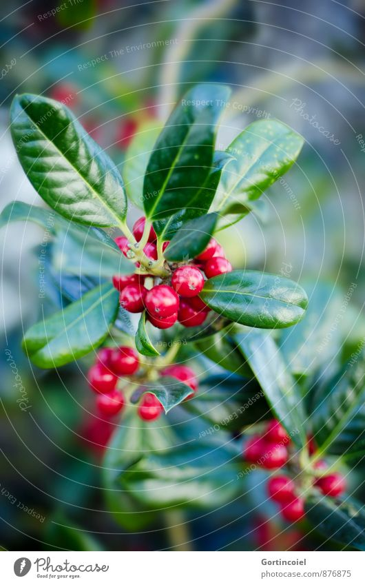 general partner Plant Winter Bushes Leaf Green Red Berries Berry bushes Christmas & Advent Colour photo Multicoloured Exterior shot Close-up Copy Space top