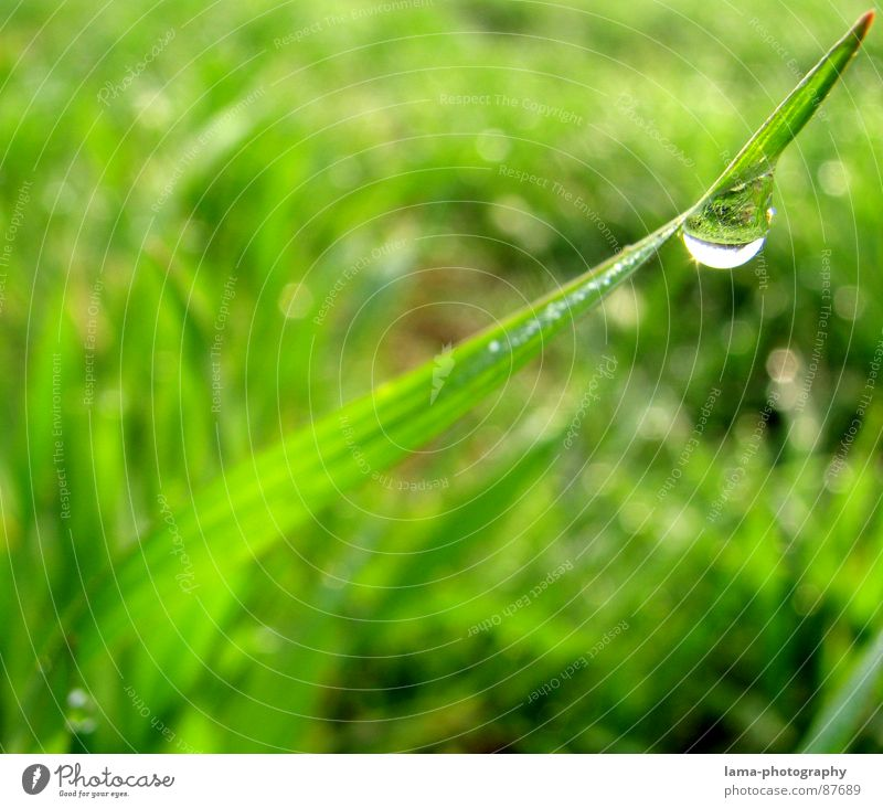 Field of Tears I Grass Wet Blade of grass Meadow Green Spring Summer Flower meadow Agriculture Cattle Pasture Environment Summery Juicy Plant Botany Rain