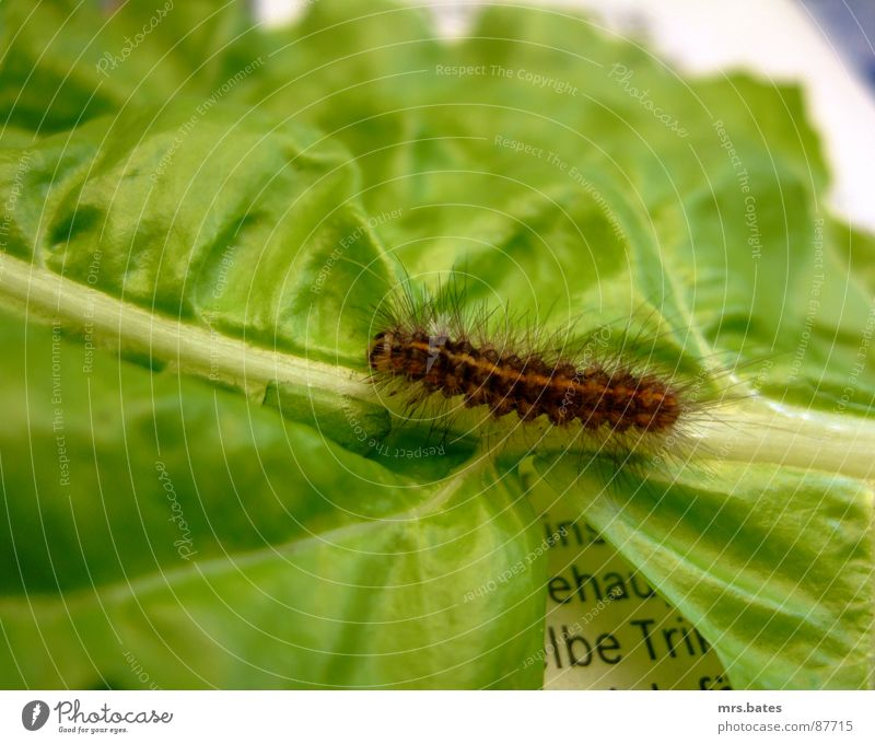 Nature Green Animal Newspaper Insect Stalk Crawl Caterpillar Larva Salad leaf