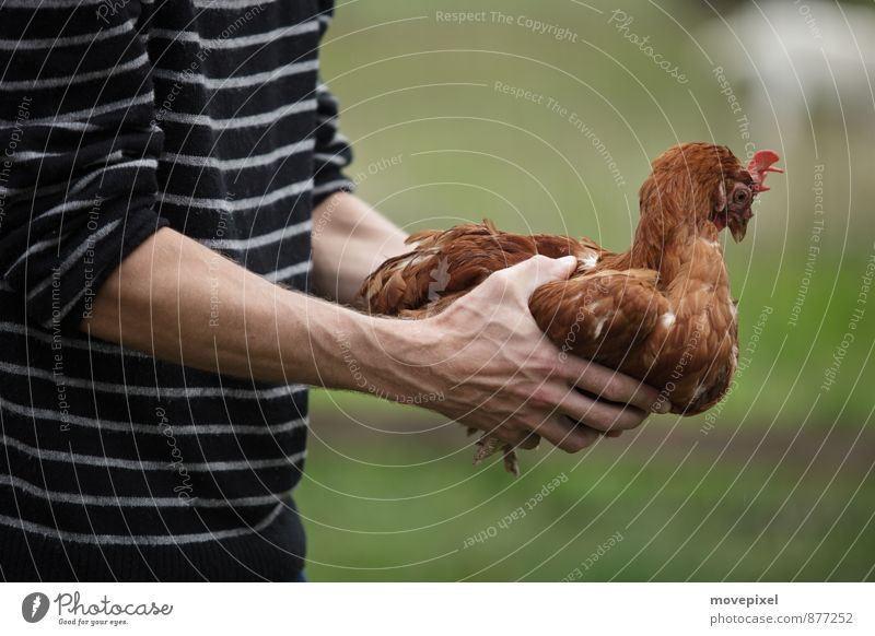 Chicken Hypnosis Farmer Agriculture Forestry Hand 1 Human being Farm animal Barn fowl Animal Touch Love of animals Fear Threat keeping chickens Colour photo
